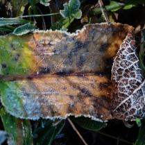 Blätter im Raureif (2)
